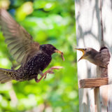 Starling feeds his nestling